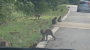Monkeys spotted along our drive from Lower Peirce to Upper Peirce Reservoir